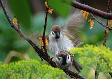 Sparrows mating Stock Image