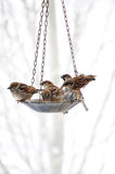 Sparrows Meeting At The Bird Feeder Stock Photo