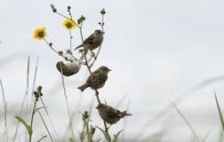 Sparrows on meeting. Couple of saparrow rest on a flower royalty free stock images