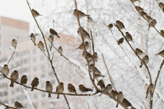 Sparrows meeting Stock Photography