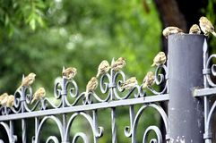 Sparrows are the most common city birds stock image