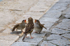 Sparrows. Mother gave baby sparrow to eat stock images