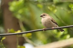 Sparrows with nature and searching for food in the nature world. Sparrows nature searching food world stock photography