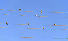 Sparrows On Power Lines Stock Photography