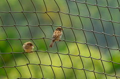 Sparrows. One of the bird that are becoming extinct because of mobile towers in Indian cities Stock Images