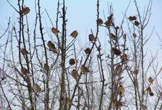 Sparrows på djupfryst tree Arkivfoton