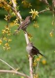 Sparrows på en forsythia Fotografering för Bildbyråer