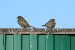 Sparrows på ett staket Arkivbild