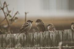 Sparrows på ett staket Royaltyfri Bild