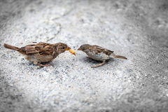 Sparrows. Pair sparrows  mother and chick, maternity and environmental protection Royalty Free Stock Image