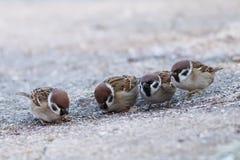 Sparrows Passer mounatus, Aves, Passseriformes. A close-up of flock of sparrows Passer mounatus, Aves, Passseriformes stock photos