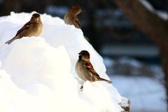 sparrows immagine stock
