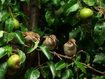 Sparrows in pear-tree. Sparrow sitting in pear-tree, summer time Royalty Free Stock Image