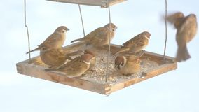 Sparrows peck at grain in the bird feeder stock video
