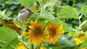 Sparrows peck the seeds of a sunflower stock footage