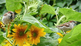 Sparrows peck the seeds of a sunflower stock video footage