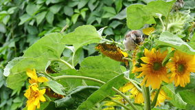 Sparrows peck the seeds of a sunflower stock video
