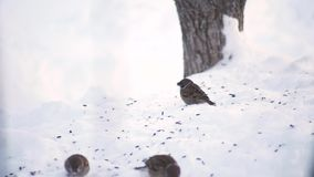 Sparrows peck at the snow. In winter stock footage