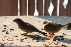 Sparrows pecking grain. Sparrows peck grains and seeds on a wooden table royalty free stock photo