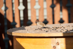 Sparrows pecking grain. Sparrows peck grains and seeds on a wooden table stock images