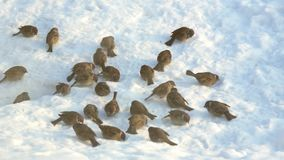 Sparrows pecking grain on the snow stock video footage