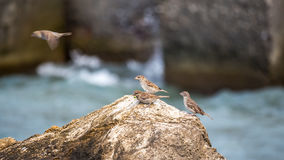 Sparrows perched on a rock, against blue sea Stock Photo