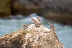 Sparrows perched on a rock, against blue sea Stock Image