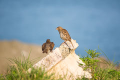 Sparrows perched on a rock, against blue sea Royalty Free Stock Images