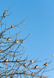 Sparrows perched on a tree branches. Royalty Free Stock Photos