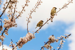 Sparrows. Pic of sparrows on a apple tree Stock Images