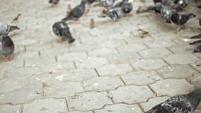 Sparrows and pigeons feeding on pavement stock footage