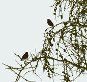 Sparrows on the pine branches Stock Image