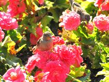 Sparrows on pink flowers in the sun in summer royalty free stock photo