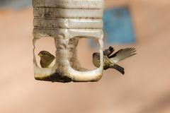 Sparrows in a plastic trough Royalty Free Stock Images