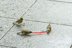 Sparrows playing. With a liquorice in a village square Stock Photos