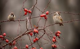 Sparrows among the red hips. stock photo