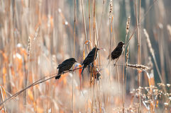 Sparrows in the reeds Stock Images