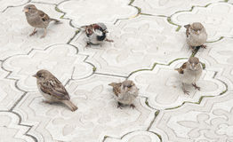 Sparrows on the road Stock Photography