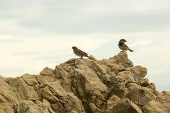 Sparrows on the rock Stock Photos