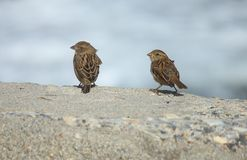 Sparrows on the rocks Stock Photo