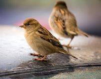 Sparrows on a roof of the car Royalty Free Stock Image