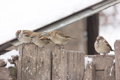 Sparrows Royalty Free Stock Images