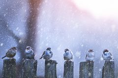 Sparrows in a row on wooden fence royalty free stock photos