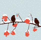 Sparrows on a rowan branch Stock Images