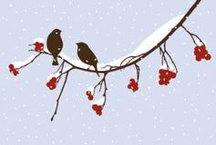 Sparrows on the rowan branch Royalty Free Stock Photos