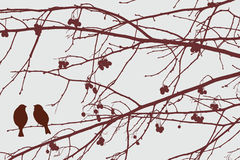 Sparrows on the rowan tree Stock Photography