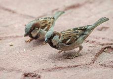 Sparrows searching bread crumbs Royalty Free Stock Photos
