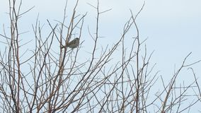Sparrows sit on the bare branches. Sparrows sitting on the bare branches of a Bush on a cloudy day. Camera panning stock footage