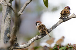 Sparrows sit on a branch. (A sunny day in winter Royalty Free Stock Images