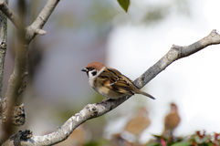 Sparrows sit on a branch. Stock Image